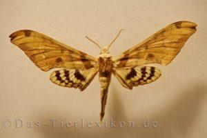 adhemarius, gannascus, schmetterling