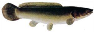 schlammfisch