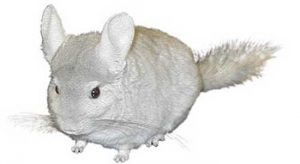 chinchillas, viscachas
