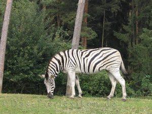 damara, zebra