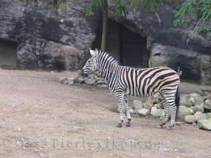 chapman, zebra