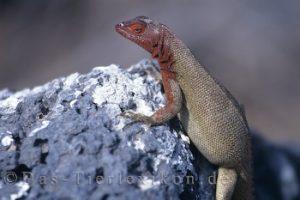 galapagos-lavaeidechse
