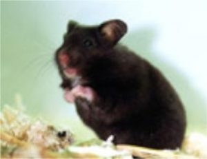 hamster, wuehler