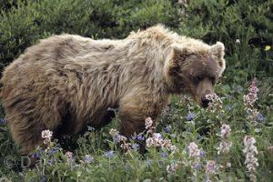 bär, grizzlybär