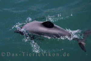hektor-delfin