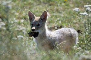 koyote, kojote