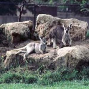 bergkaenguru, bergwallaruh, wallaroo, euro, kaenguru