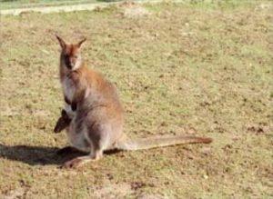 bennettwallaby, kaenguru