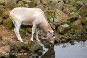 antilope, mendesantilope