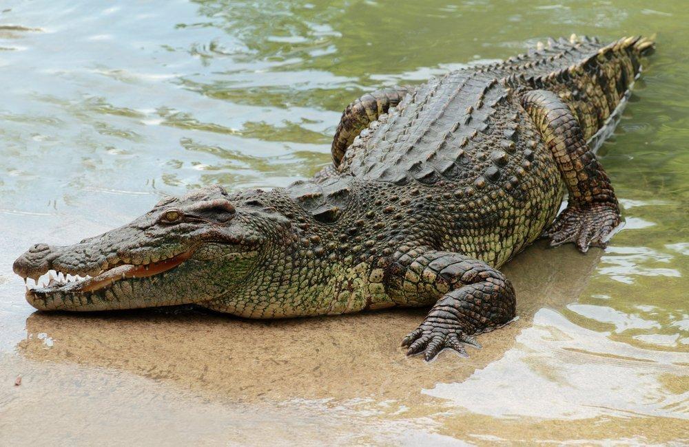 Crocodylusniloticus