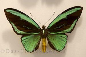 ornithoptera-priamus, ritterfalter, schwalbenschwanz, vogelfalter, schmetterling