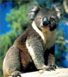koala, beutelbär