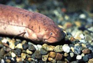 lungenfisch