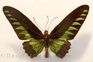 trogonoptera-brookiana, schmetterling, ritterfalter, birdwing