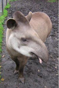 flachlandtapir, tapir
