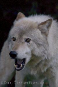 timberwolf, wolf