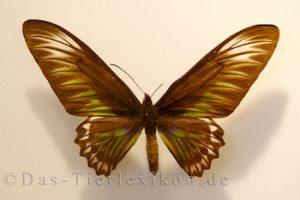 trogonoptera-trojana, schmetterling, ritterfalter, birdwing