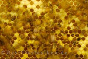 biene, honigbiene