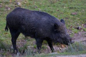 wildschwein, schwein