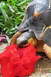 Blütenfressende Schildkröte