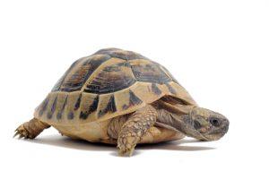 Landschildkröte, breiter Rand am Panzer