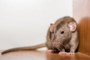 Ratten Im Garten Mit Diesen Mitteln Werden Sie Die Schadlinge Los