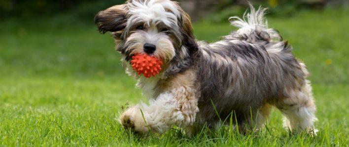 havaneser spielt mit einem ball