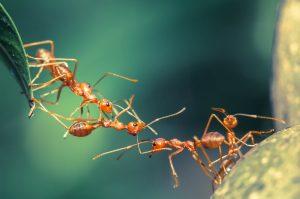 rote Ameisen bilden eine kette