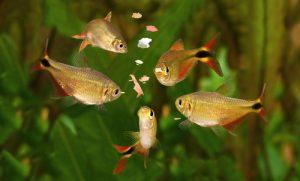 fünf aquarium fische erhalten flockenfutter