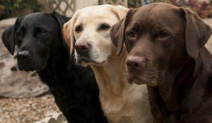 Info: Labrador gibt es in drei Farben