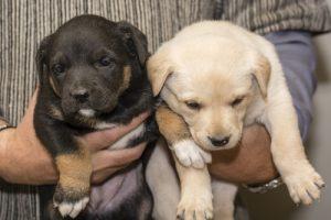 zwei labrador welpen werden mit haenden gehalten