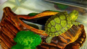 schildkröte in einem aquaterrarium