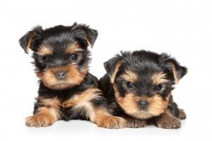 zwei Yorkshire-Terrier-Mix welpen
