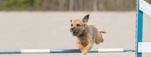 Border Terrier springt über Hindernis