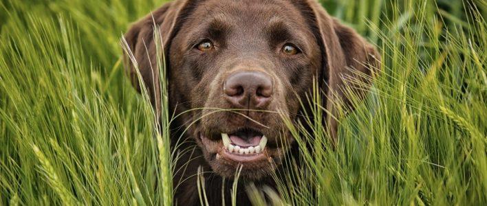 Labrador Alles Uber Haltung Pflege Und Herkunft Des Familienhundes