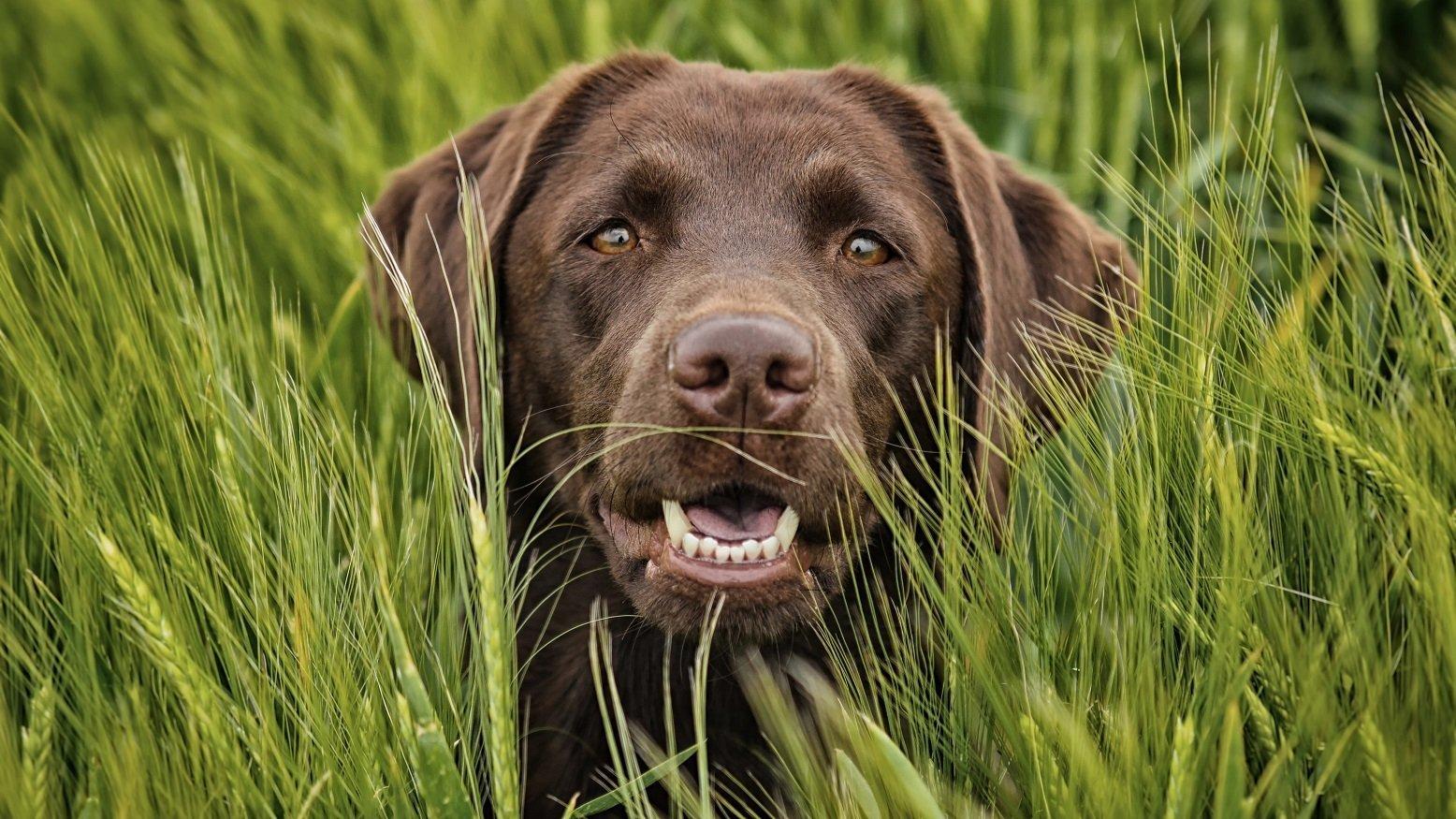 brauner labrador im gras