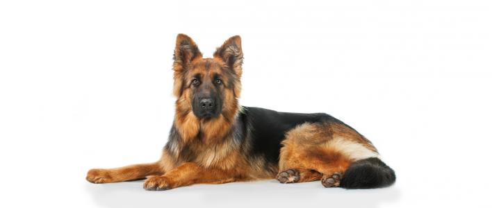 31 deutscher schäferhund bilder  besten bilder von