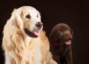 Labrador Golden Retriever und dunkelbrauner Welpe