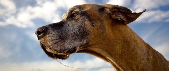 dogge-tierlexikon