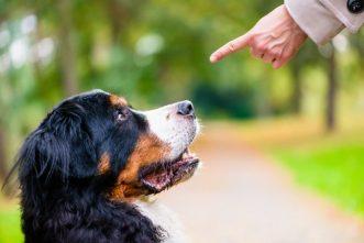 Berner Sennenhunde sollten stets mit Einfühlungsvermögen erzogen werden.