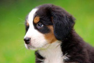 Berner Sennenhund Welpen kaufen
