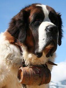 bernersennenhunde-ratgeber
