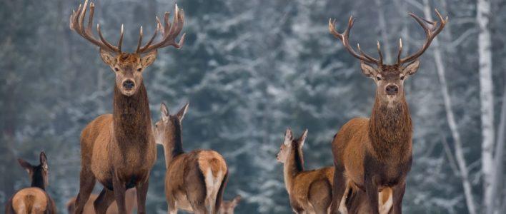 Hirsche auf Lichtung