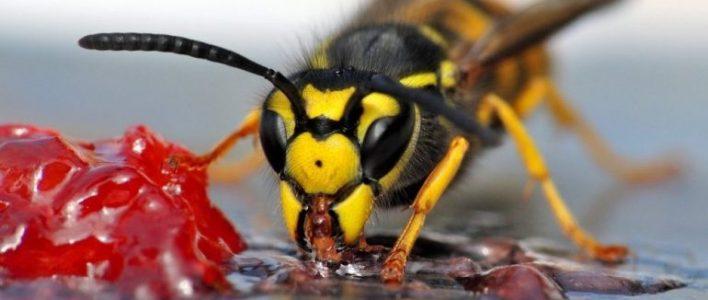 wespen-ratgeber