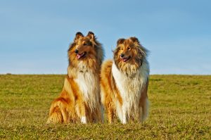 Langhaar Rough American Collie