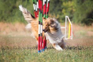 Erziehung Langhaarcollie Agility Hundesport