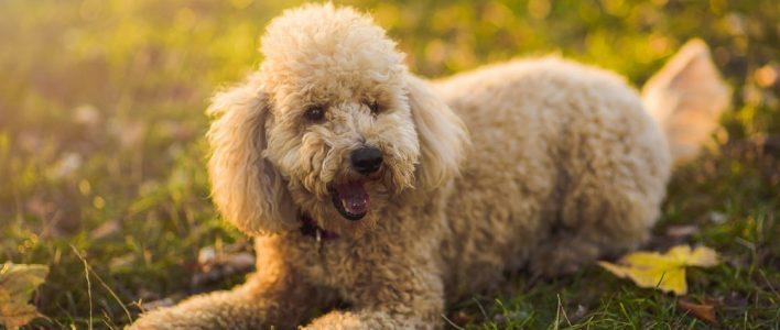 Pudel Alles über Den Intelligenten Und Verspielten Familienhund