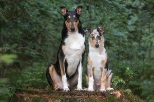 Kurzhaar Smooth Collie Tricolore Blue Merle Welpe klein