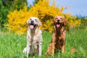 Labrador Retriever Mischling Kurzhaar