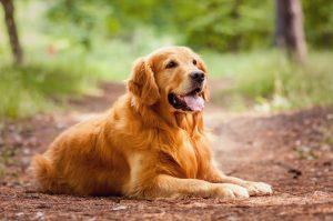Rasse Golden Retriever Hunde Züchter